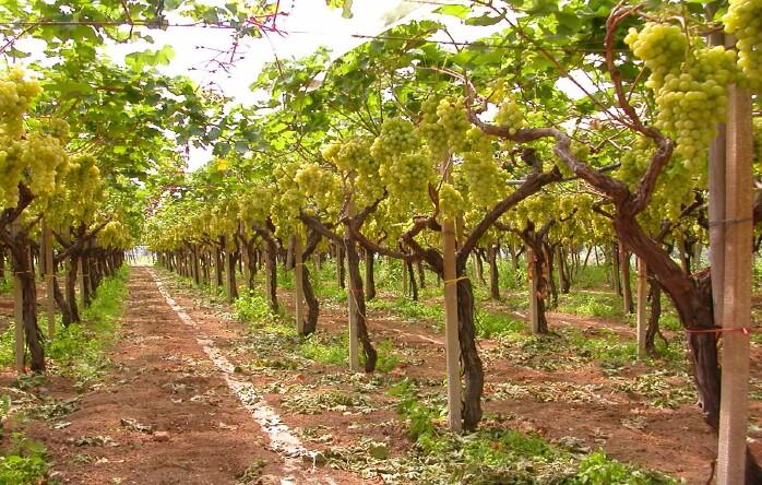 Sperimentazione uva concimi e fertilizzanti per l - Uva da tavola italia ...